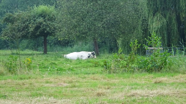 Check This Out White Cow Enjoying The Sun Nature On Your Doorstep EyeEm Nature Lover