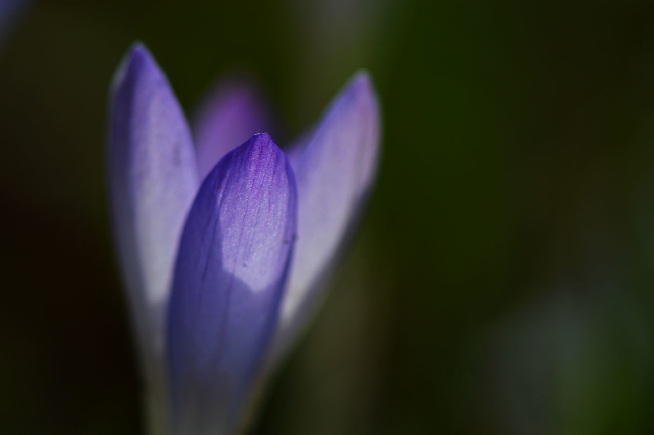 flower, nature, beauty in nature, fragility, petal, growth, freshness, flower head, purple, plant, no people, close-up, focus on foreground, outdoors, day, blooming, crocus
