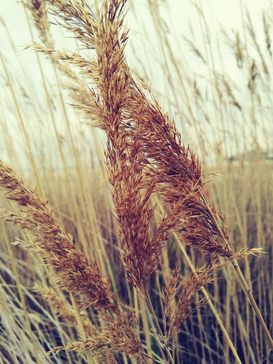 Junco Juncos High Grass Grassland Moorland Kłos Trawy Trawa