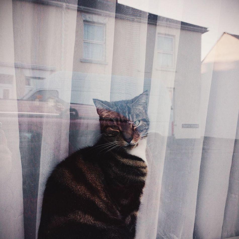 Beautiful stock photos of kitty, Animal Themes, Cat, Curtain, Day