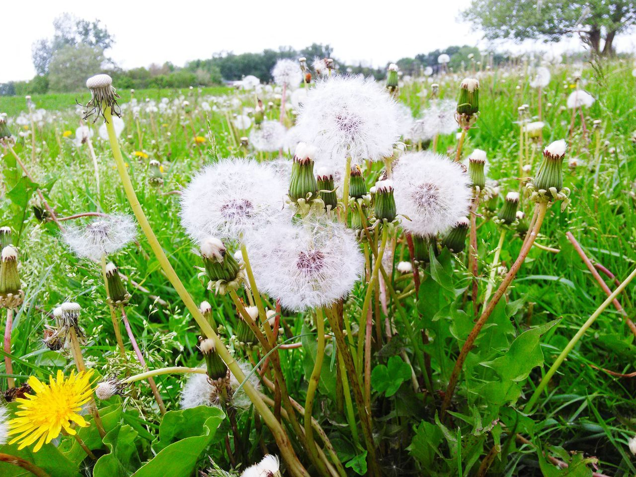 Dandelions Turned To Seed Weeds Weeds Are Beautiful Too Field Ground