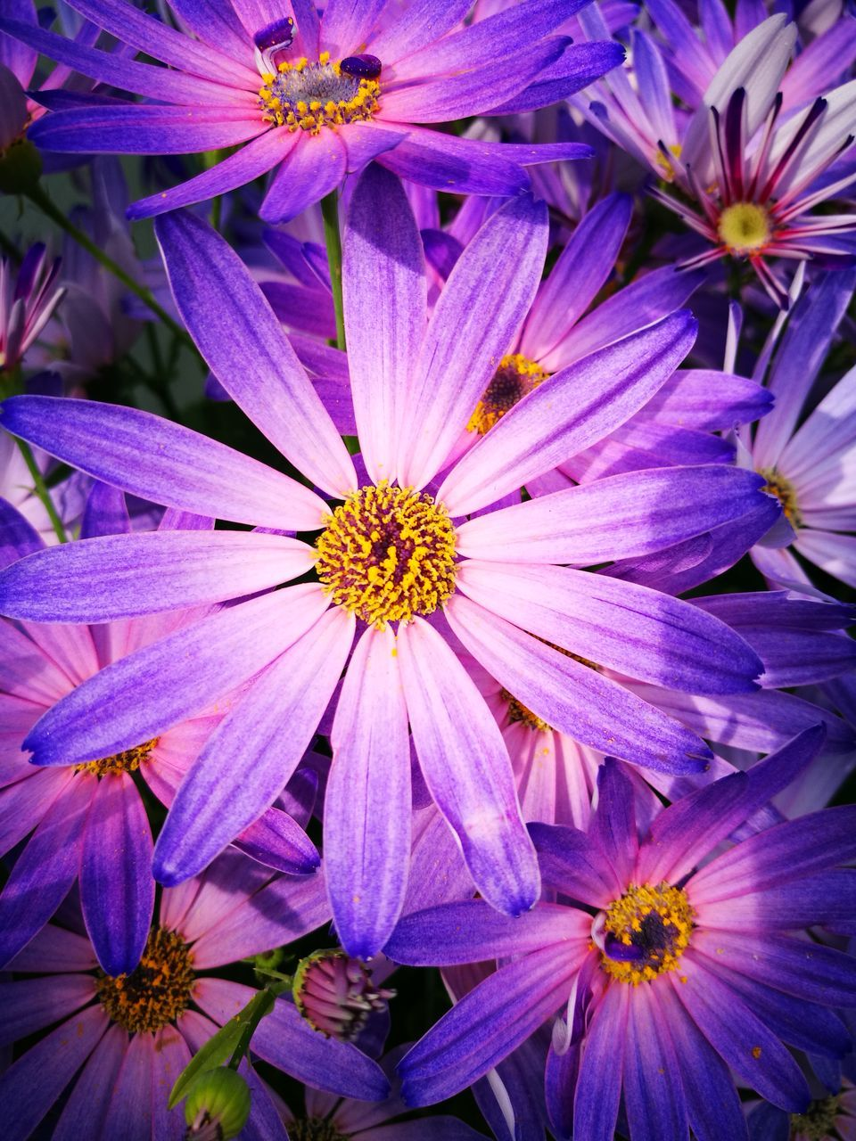 flower, petal, fragility, flower head, beauty in nature, growth, nature, no people, purple, plant, freshness, blooming, pollen, osteospermum, full frame, outdoors, close-up, day