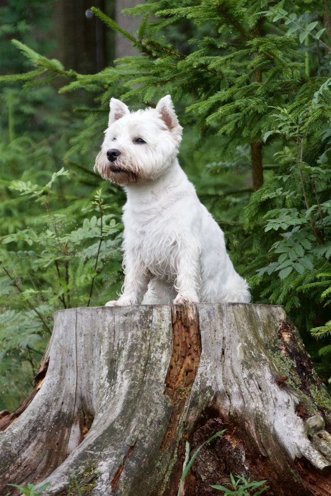 Animal Animal Hair Animal Themes Day Dog Dogs Domestic Animals Focus On Foreground Green Color Looking Away Mammal Non-urban Scene One Animal Outdoors Sitting Terrier Tree Trunk Westhighlandterrier Zoology