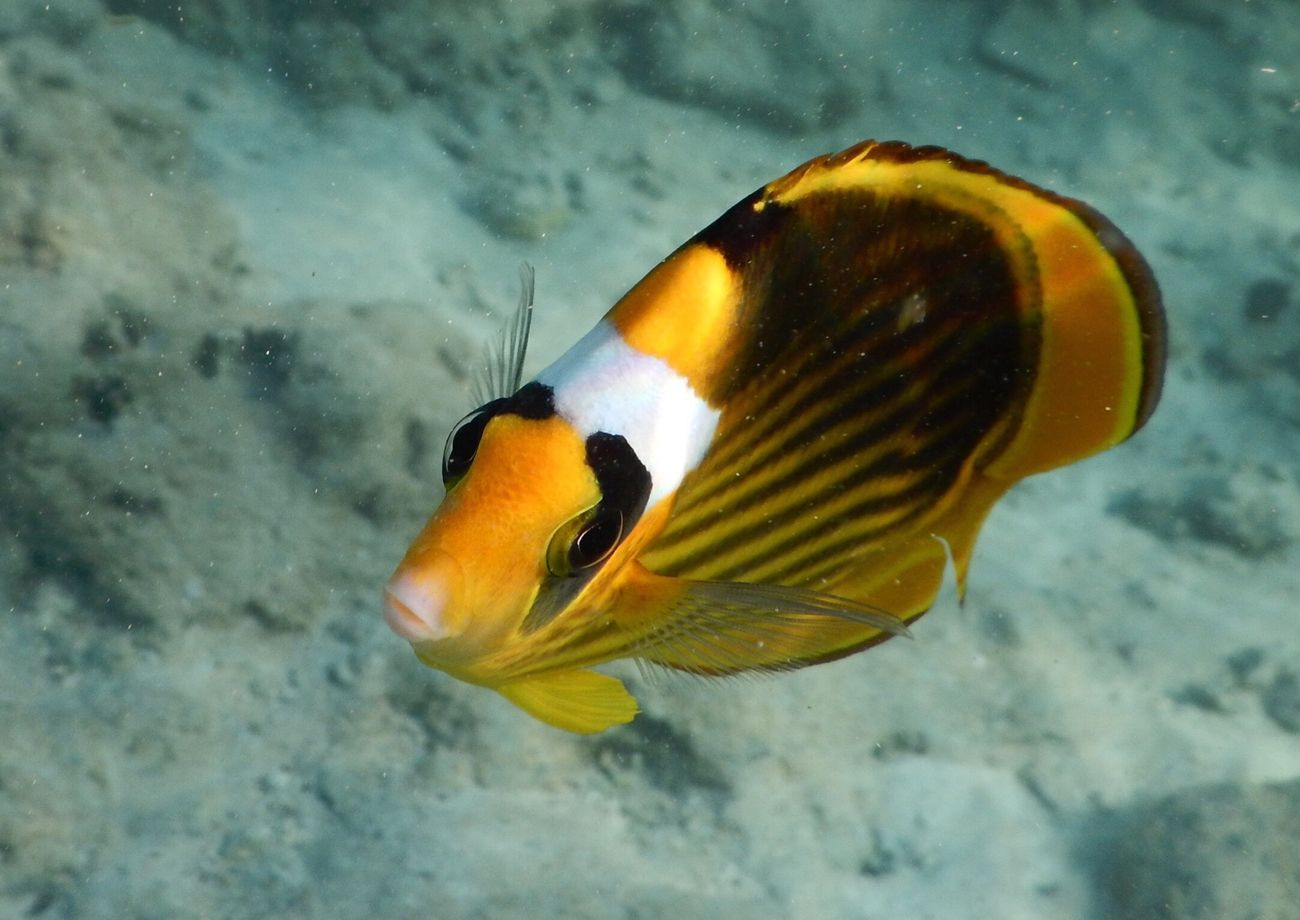 Fish RedSea Yellow Fish Animal Sea