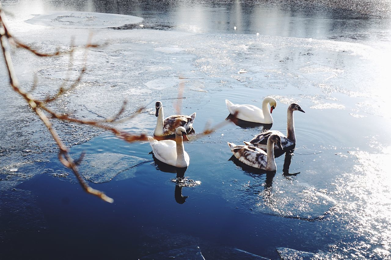 Swans Cold Temperature Cold Cold Days Animal Themes Water Animals In The Wild Lake Animal Wildlife Real Photography Berlin Winter Winter Wonderland Winter Ice Nature Outdoors Beauty In Nature VSCO Eyeemphoto Beautiful Nature Nature Photography Nature_collection Nature No People