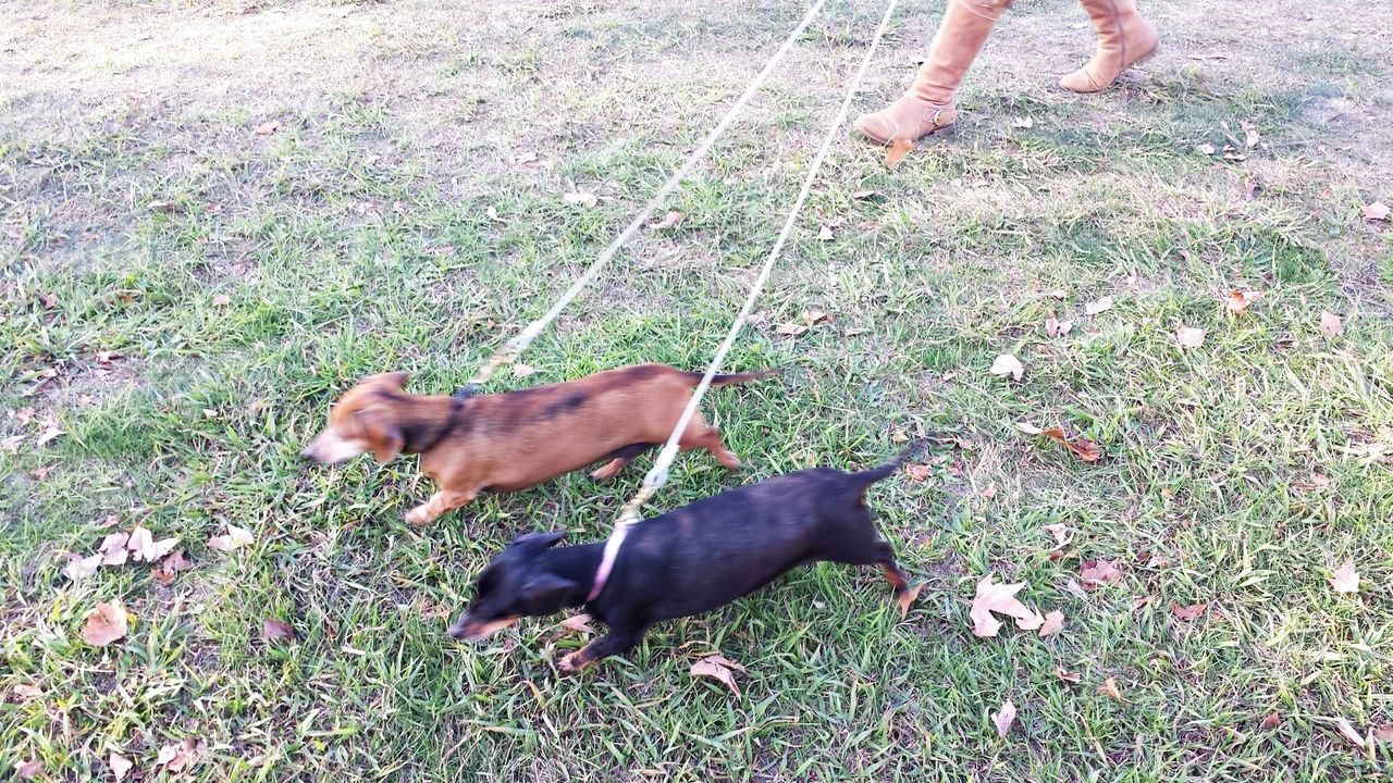 Daschunds walking on leads Black Dog Brown Dog Daschund Daschunds Daschunds Walking Day Dog Dog Leash Dogs Dogs On Leads Dogs Walking Field Grassy On The Way Pet Collar Pet Owner Pets Two Dogs
