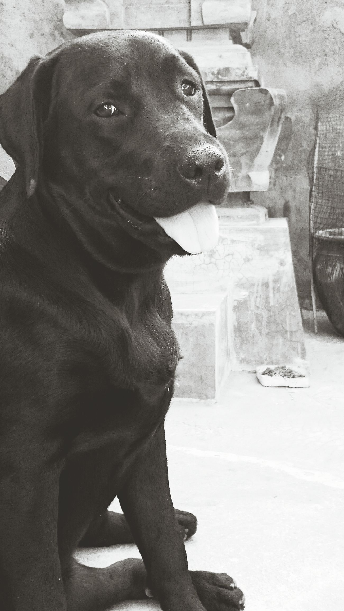 my happy doggie Labrador Ilovemydog Bali Kaela