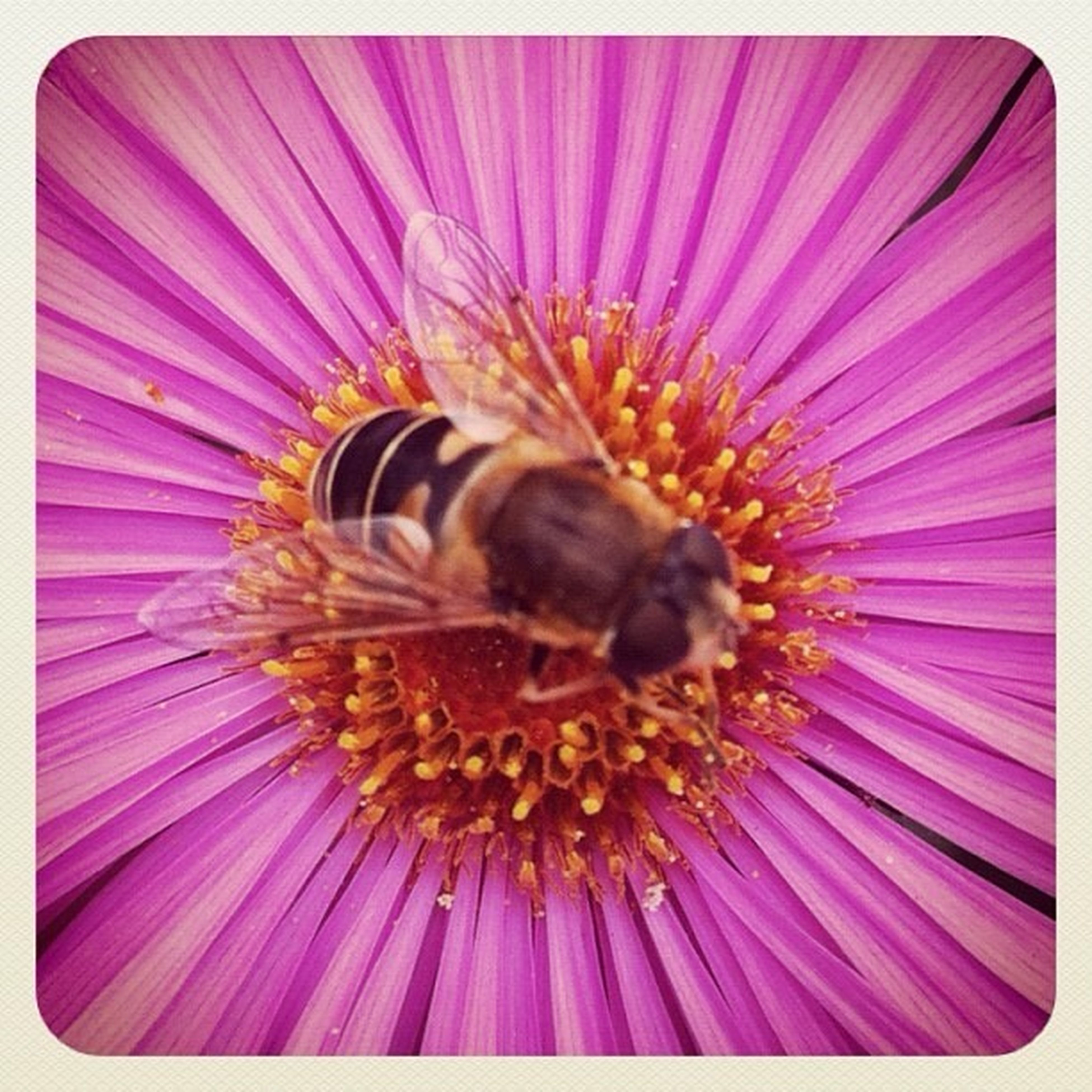 flower, insect, one animal, animal themes, petal, animals in the wild, wildlife, flower head, fragility, freshness, pollen, pollination, close-up, transfer print, bee, beauty in nature, nature, pink color, purple, auto post production filter