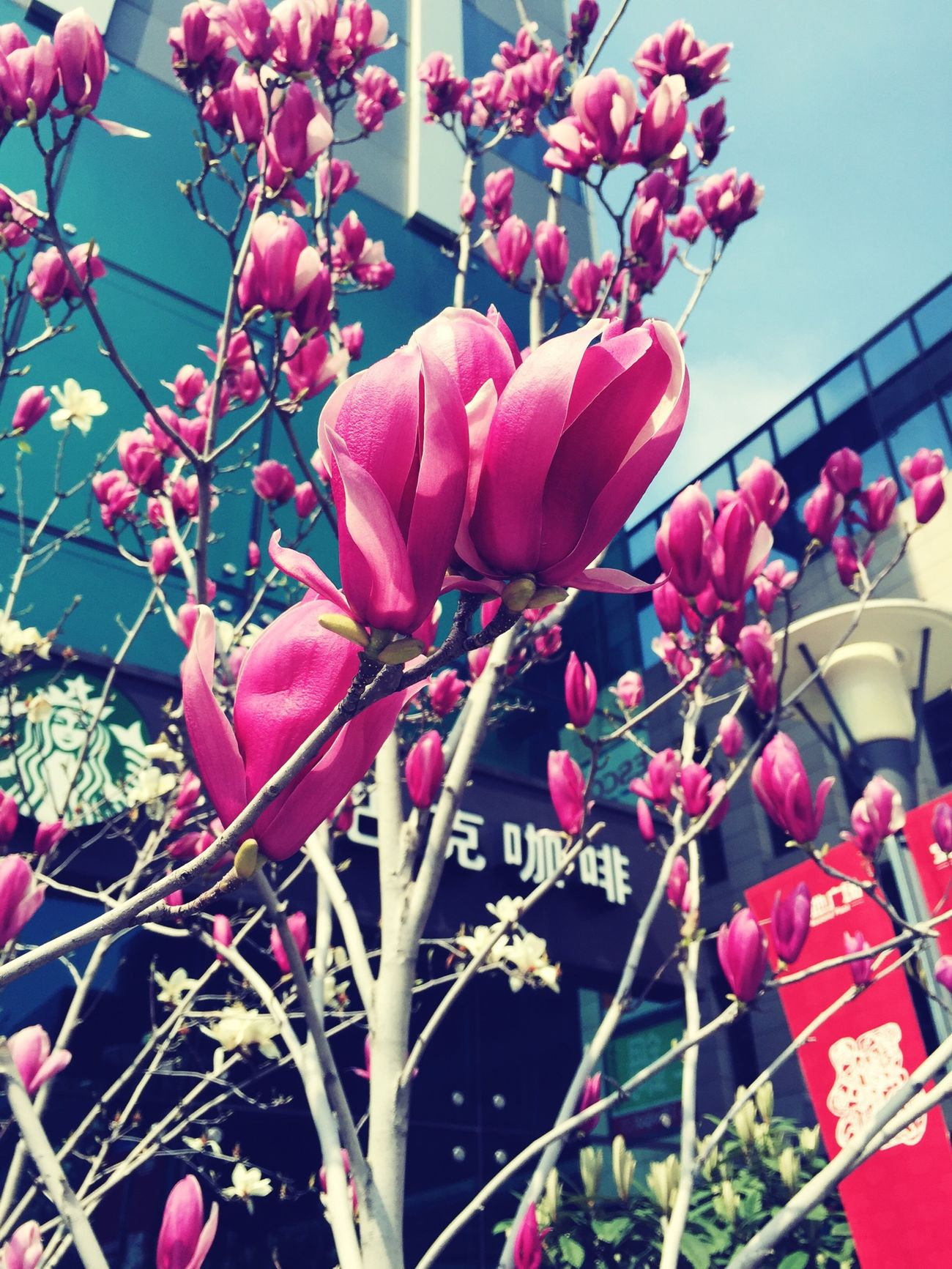 白玉兰 花朵