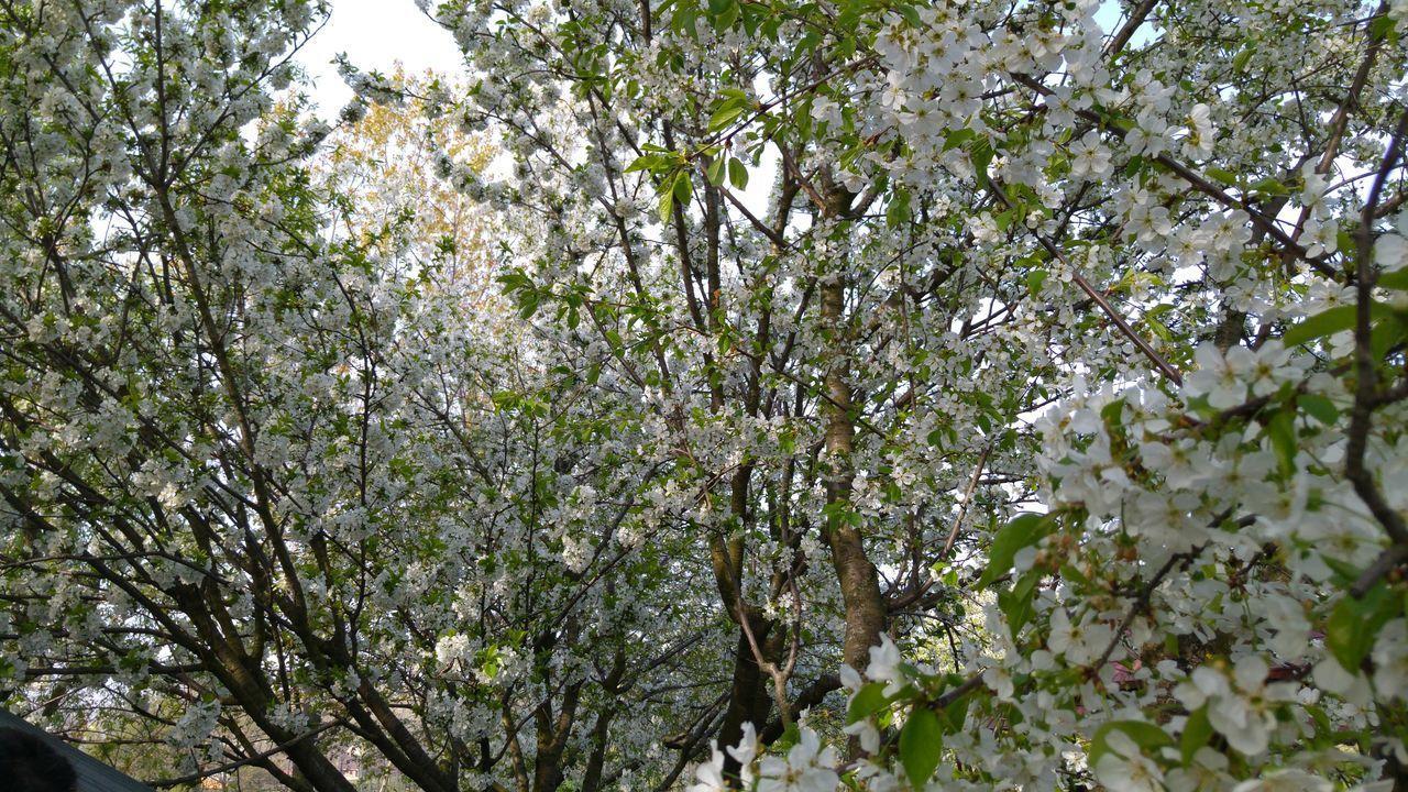 Showcase April Trees Cherry Blossoms Cherry Tree Flower Spring Flowers Spring Cherry Blossom