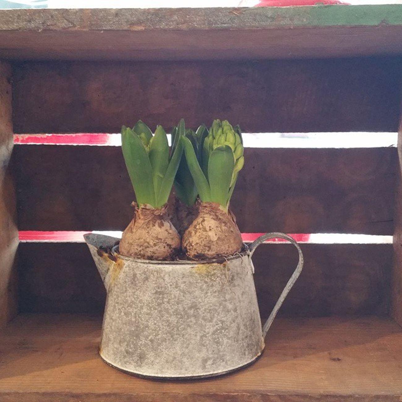 Que sí que sí, que ya casi es primavera. Aleafloristerias Springiscomming Spring Hyacinthus Jar Shabbychic Anthropologie Yacasiesprimavera