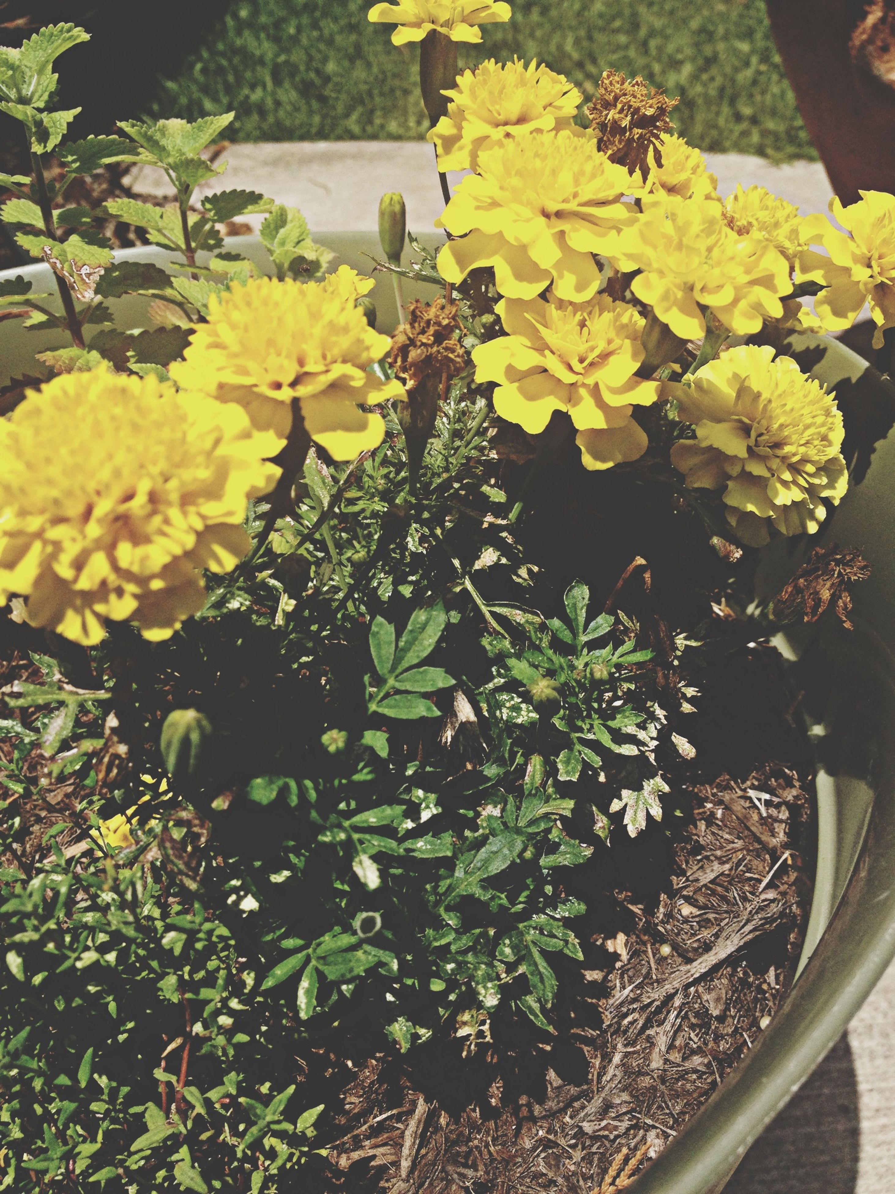 flower, freshness, growth, plant, yellow, fragility, petal, beauty in nature, nature, leaf, high angle view, blooming, potted plant, flower head, in bloom, outdoors, close-up, day, sunlight, front or back yard