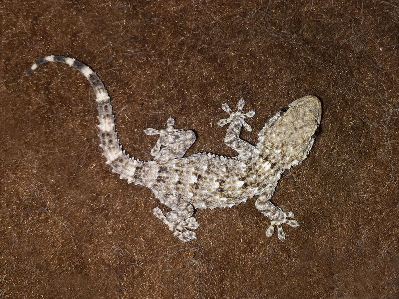 Tarentola Mauritanica Animal Body Animal Themes Animalia Gekkota Indoor Reptile Photography Reptilia Squamata Tarentola Mauritanica