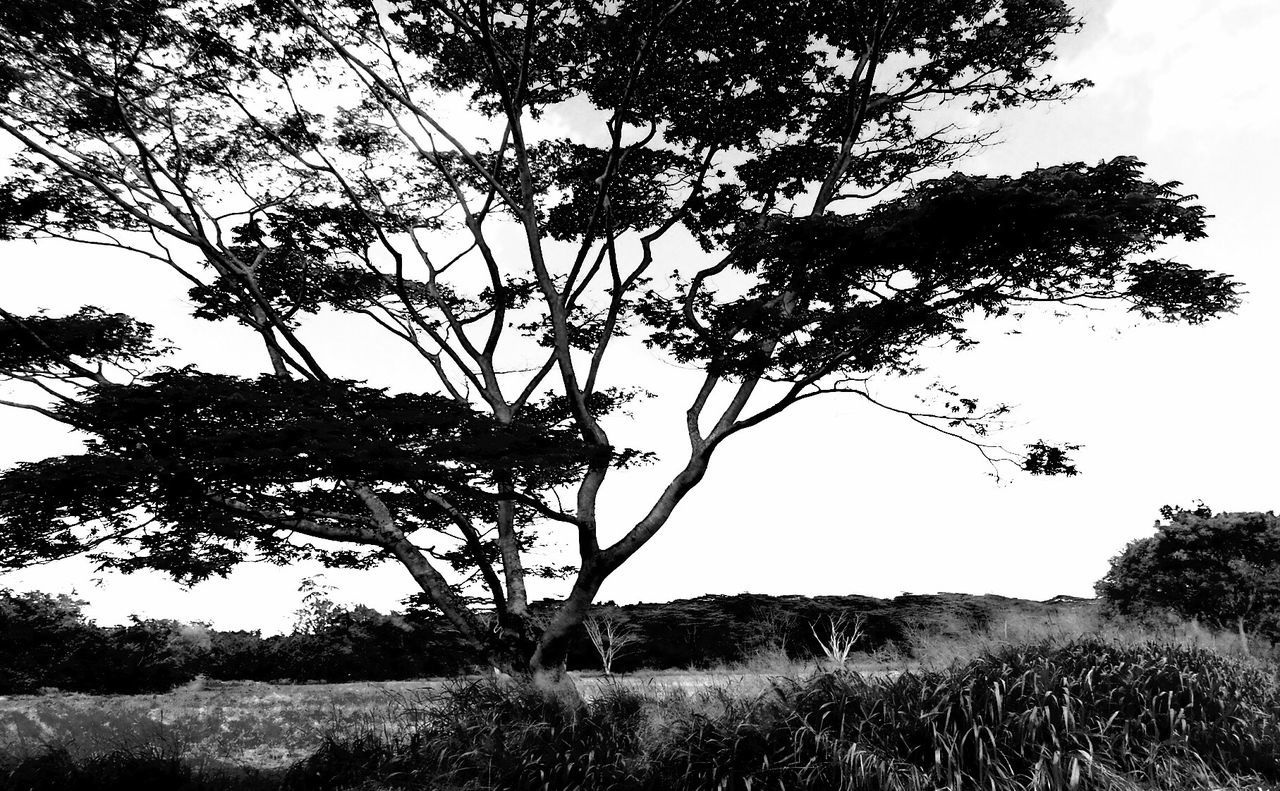 tree, growth, field, nature, landscape, grass, outdoors, tranquility, beauty in nature, branch, sky, no people, scenics, day, lone