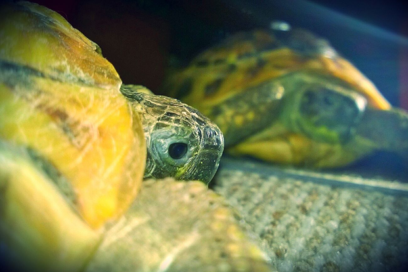 who is the stranger in the mirror Animal Themes Close-up One Animal Animals Posing For My Friends That Connect Tortoise Turtle Turtles Mirror Mirror Picture Focus On Foreground