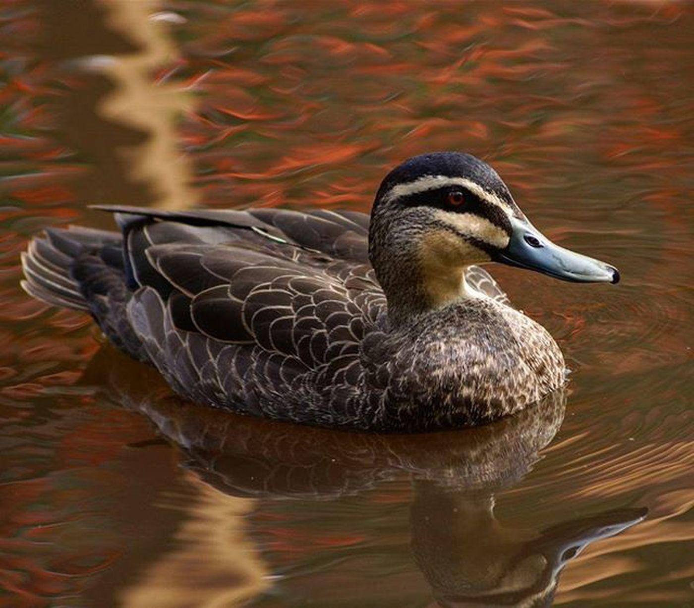 I Spotted Donald at Blackbutt Nature Bird Duck Blackbuttreservepark Blackbuttreserve Newcastle Newy Igersnewy Mynewcastle Newcastlelifestyle Newcastlelife Newyisok
