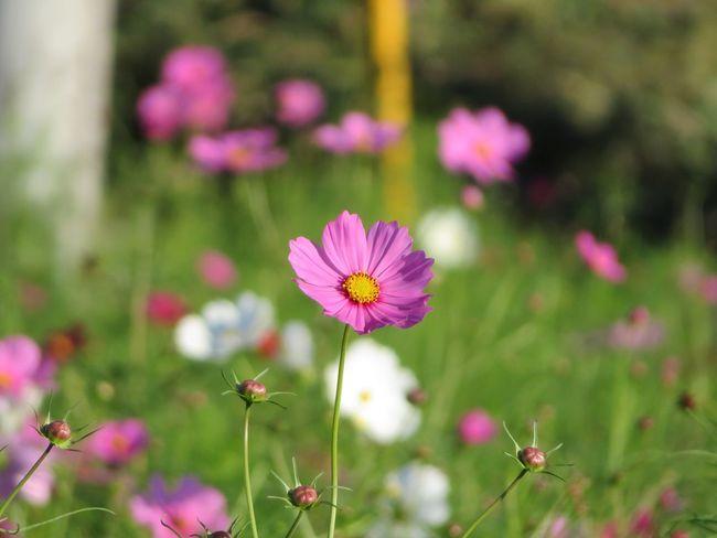 Flower コスモス Cosmos 秋桜 Cosmos Flower 花 秋の花