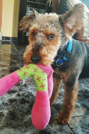 Arthur Ingame Crazy Moments Welshterriër Ilovemydog Indoor Today ♥ With My Love Dog❤ Pet Portraits