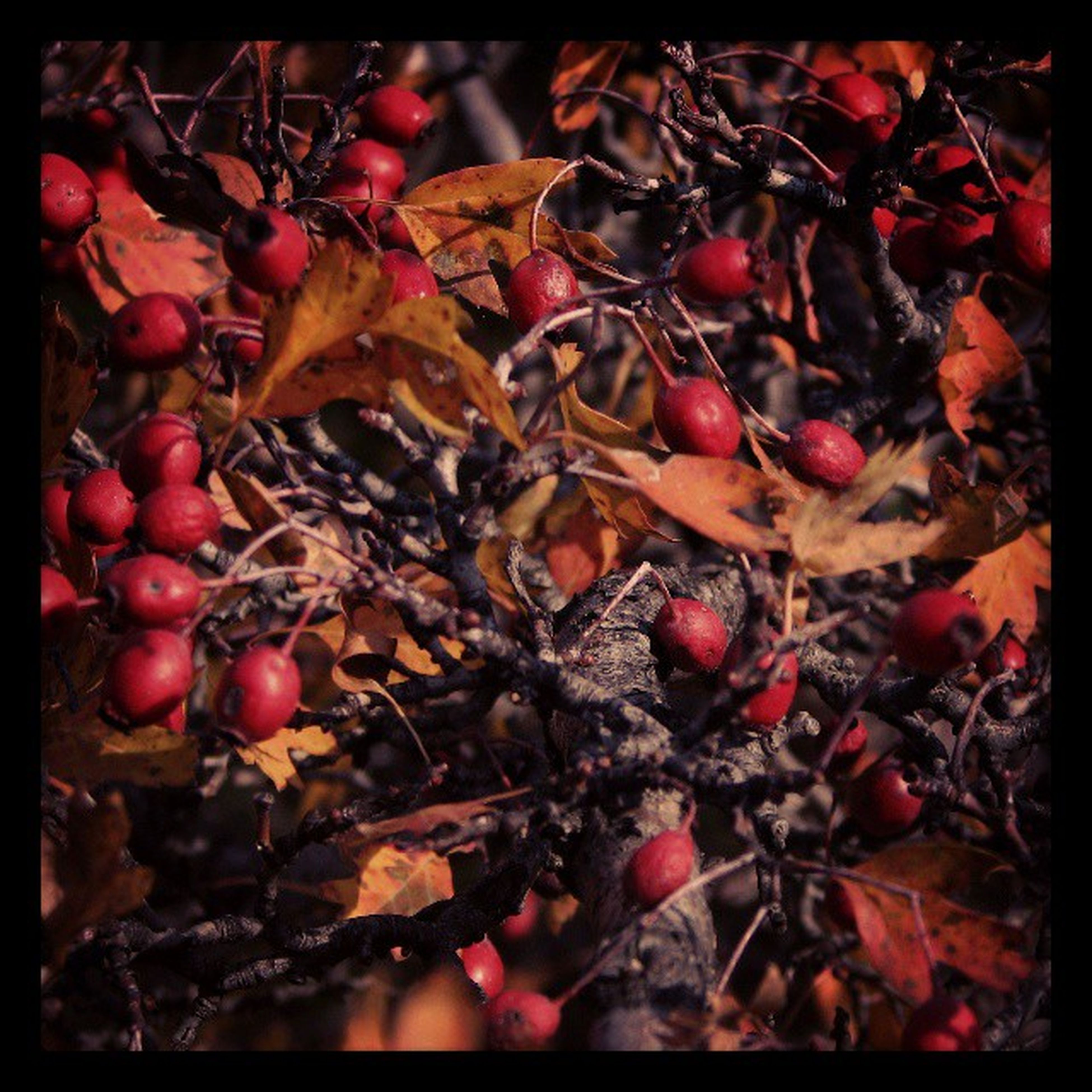 transfer print, auto post production filter, red, leaf, full frame, food and drink, high angle view, abundance, backgrounds, fruit, autumn, close-up, nature, large group of objects, healthy eating, dry, day, no people, outdoors, food