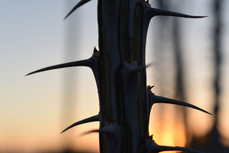 Ocotillo Silhouette Sunset No People Black Color Sky Outdoors Close-up Nature Day Tree