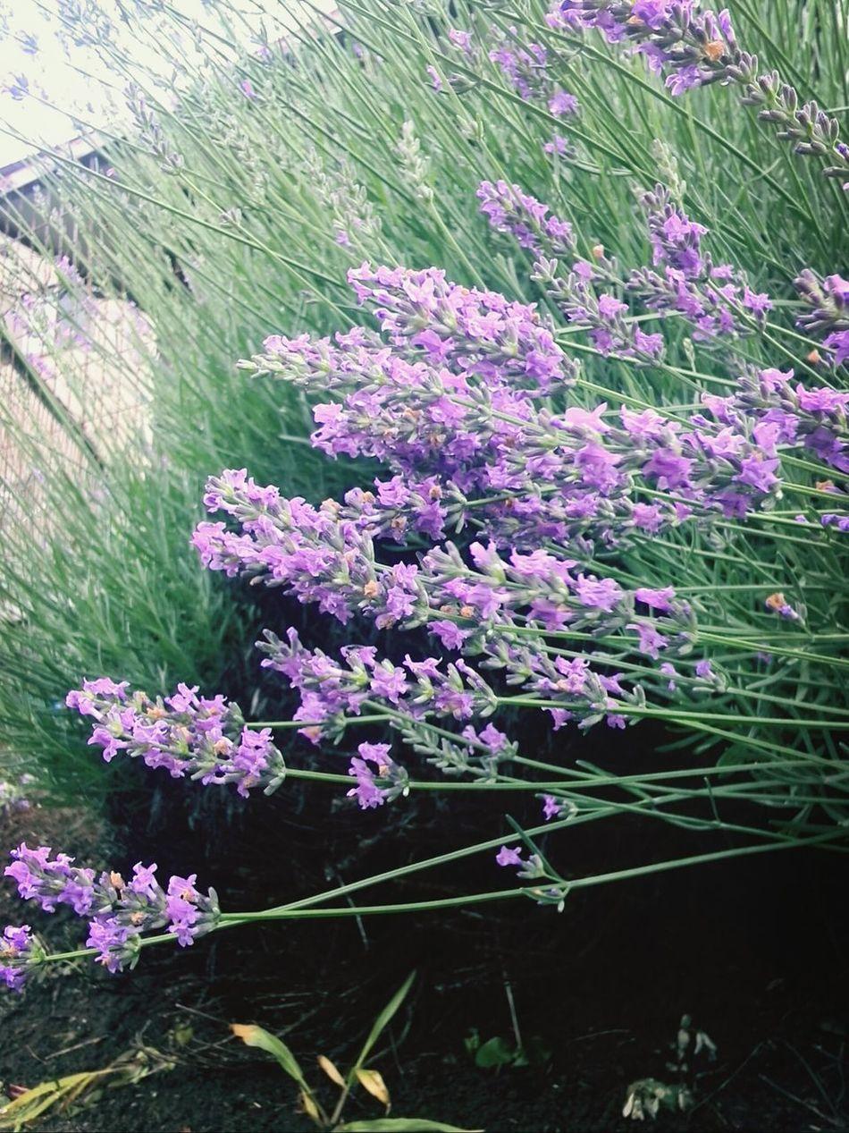 なぜかみんな横向き! Flower 紫 横向き ラベンダー