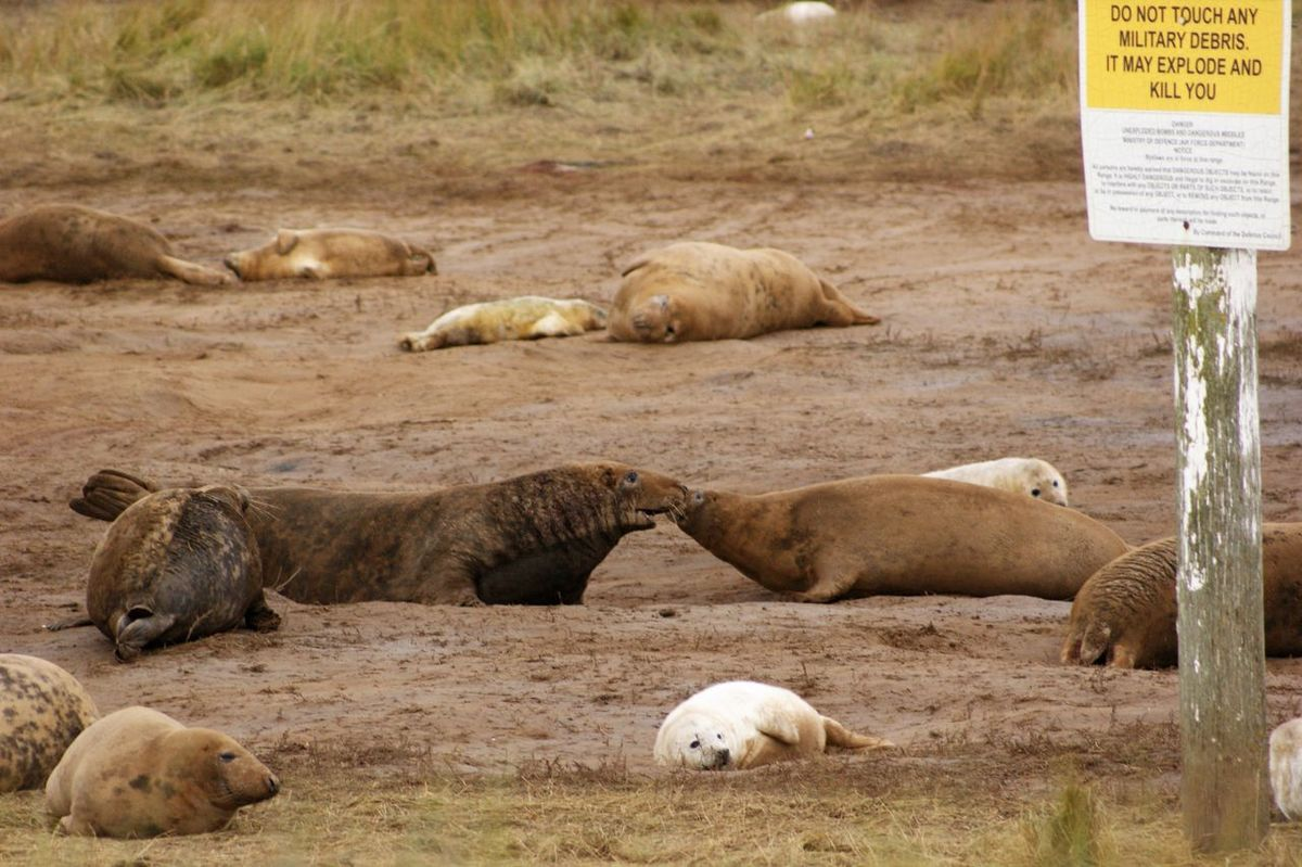 Animal Themes Animal Wildlife Animals In The Wild Day Large Group Of Animals Mammal Nature No People Outdoors Seals Seals Chilling Seals On Beach Seals On The Sea Shore