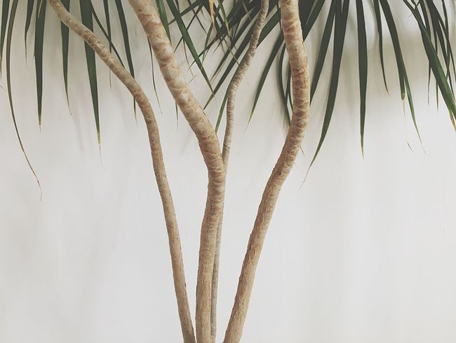 Palm Tree White Wall Indoor Houseplant Plants Flowers