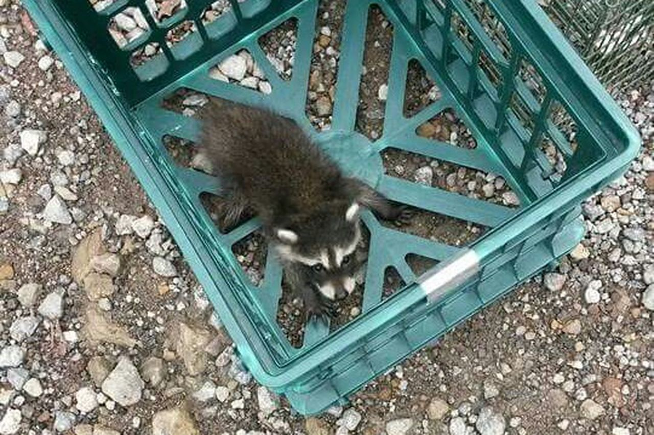 East Liverpool Ohio Capture The Moment Rescued ❤ Baby Raccoons Photos That Will Restore Your Faith In Humanity Animal Photography EyeEm Animal Lover