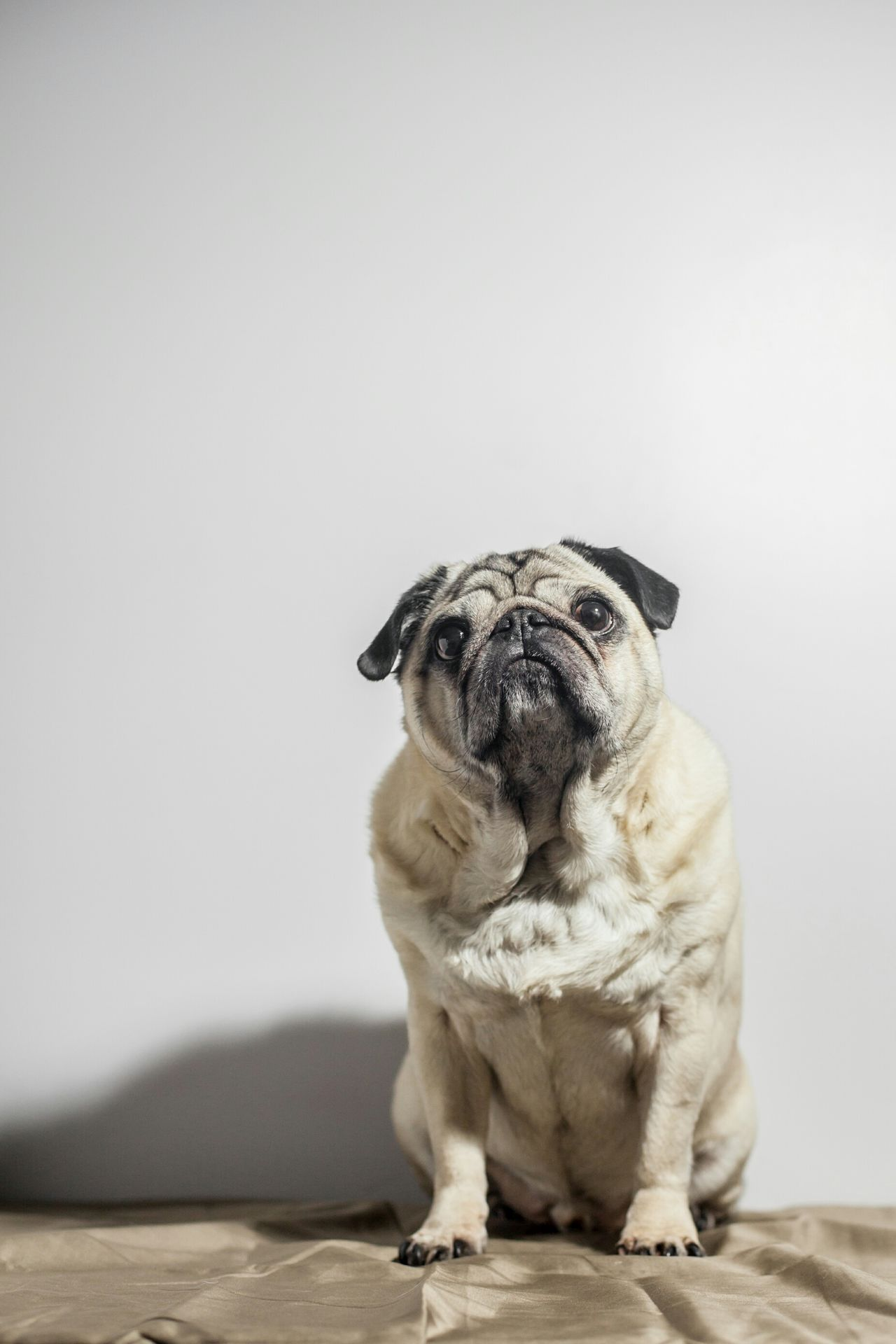 Beautiful stock photos of pugs, one animal, animal themes, dog, pets