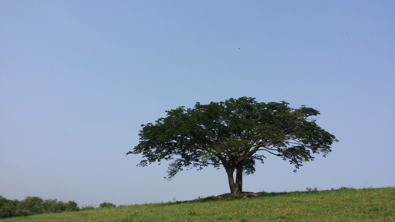 tree, clear sky, landscape, single tree, solitude, tranquility, tranquil scene, nature, field, blue, grass, scenics, beauty in nature, outdoors, lone, green color, tree trunk, no people, day, sky