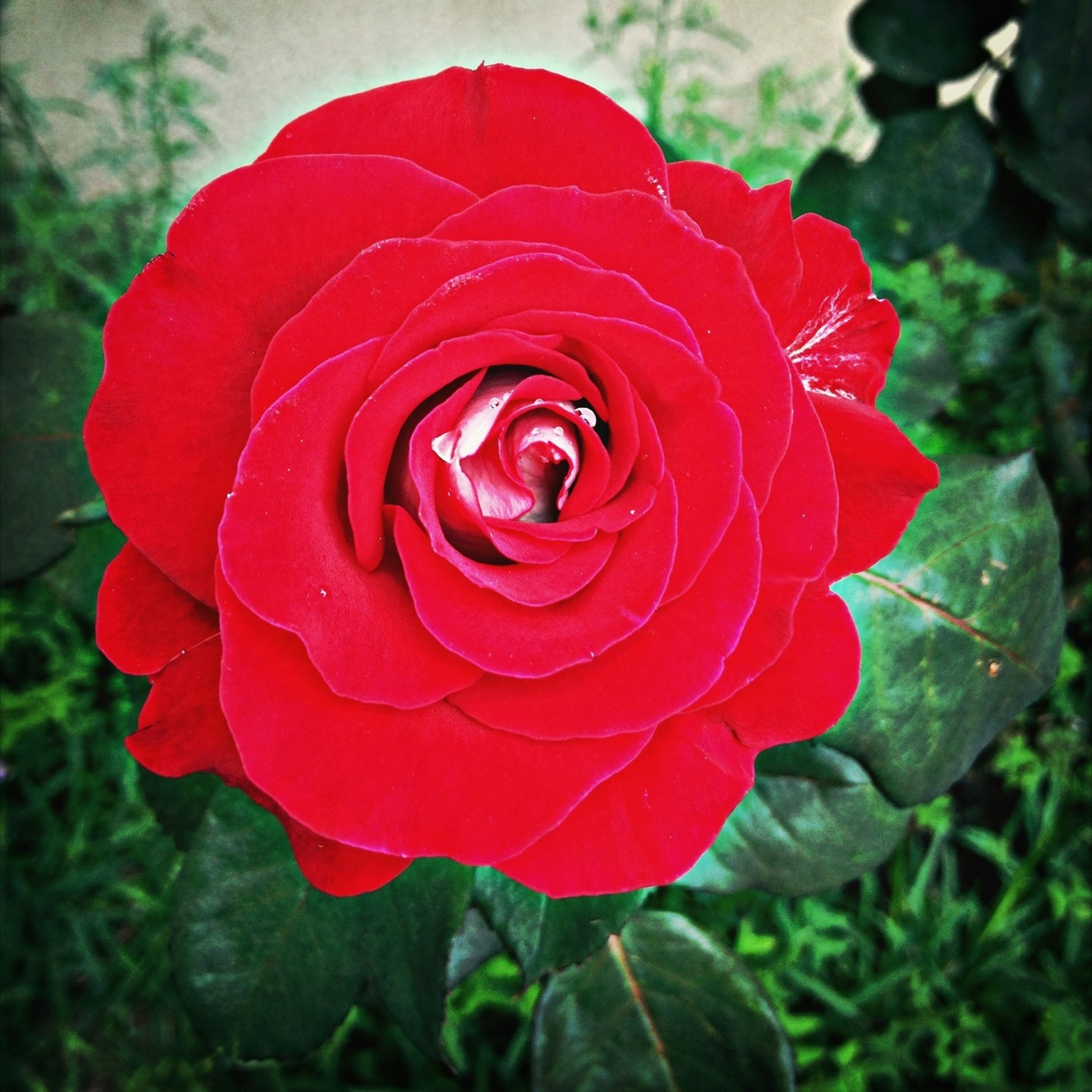 flower, petal, flower head, freshness, fragility, rose - flower, single flower, beauty in nature, growth, close-up, red, blooming, rose, focus on foreground, nature, plant, single rose, in bloom, day, leaf