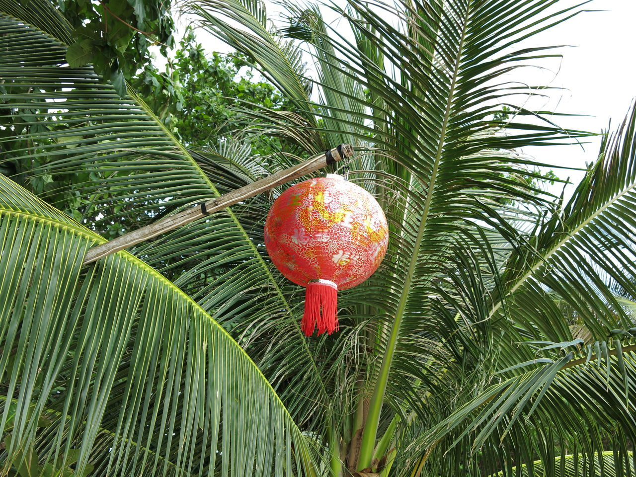 Lampion in a palm tree. Illumination of a restaurant at Ko Lanta / Thailand. Beauty In Nature Branch Day Fruit Green Color Growing Growth Illumination Invitation Lamp Lampion Leaf Nature No People Outdoors Palm Tree Red Tree