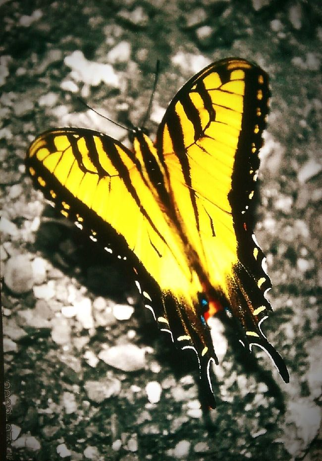 Tiger swallowtail butterfly. Photograph was taken in Southern Missouri. Beautiful World Of Butterflies Nature On Your Doorstep