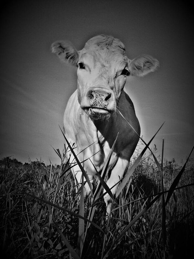 The Cowwhisperer Portrait Of A Friend Cow Lover Portrait Of A Cow Cowporn Open Edit Service Animals