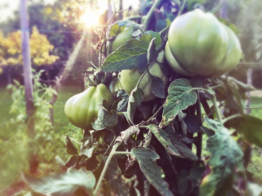 Garden 2/12 Close-up Freshness Tomatoes Green Unripe Tomatoes IPhoneography Italy Veneto Leaf Green Color Sunlight Agriculture Selective Focus Nature Plant Organic Sunbeam Outdoors Focus On Foreground Growing Farm
