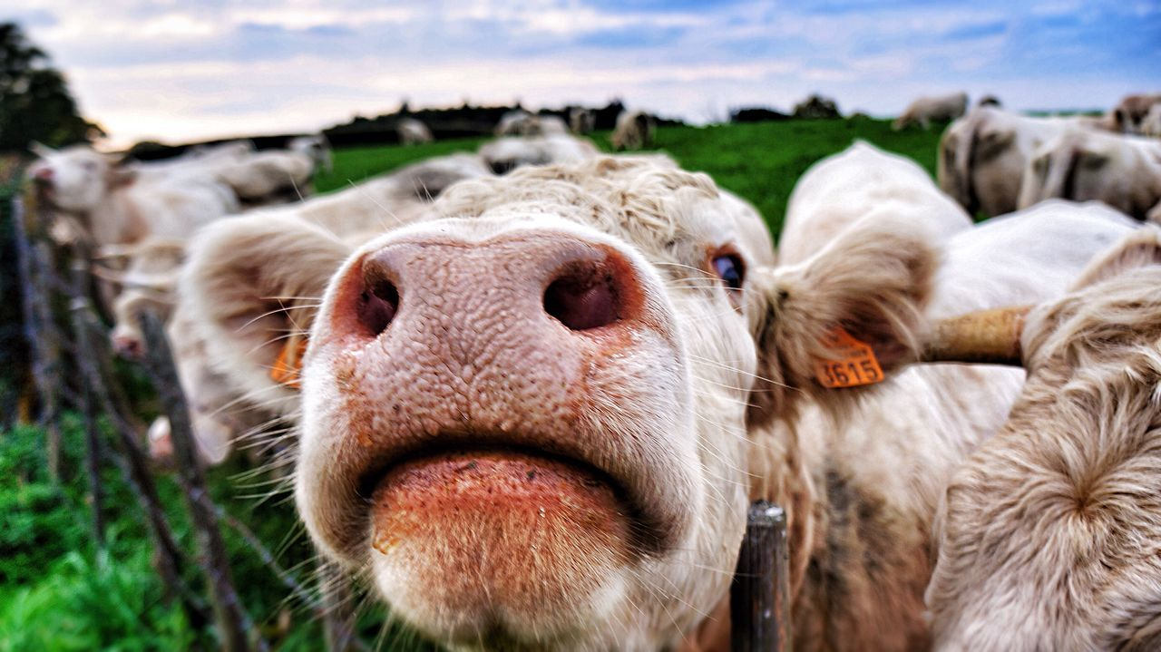 Beautiful stock photos of cow, Alkmaar, Animal Nose, Animal Themes, Close-Up