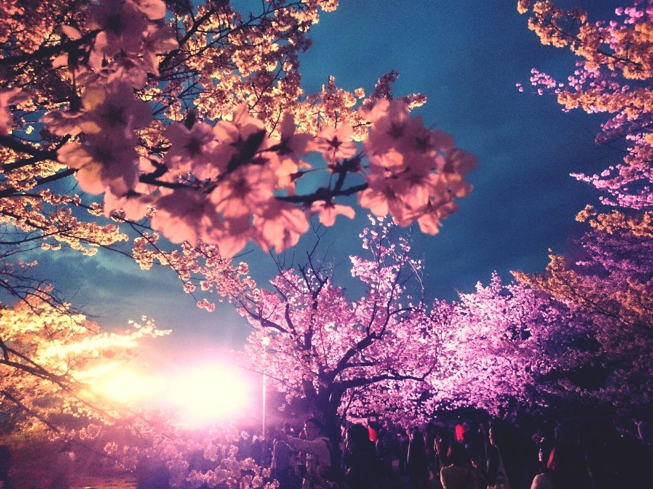 夜桜 Tree Beauty In Nature Nature Sky Sunset Low Angle View Outdoors Branch Growth Scenics Fragility No People Freshness Day Cherry Blossoms Fukuoka,Japan Fukuoka-shi