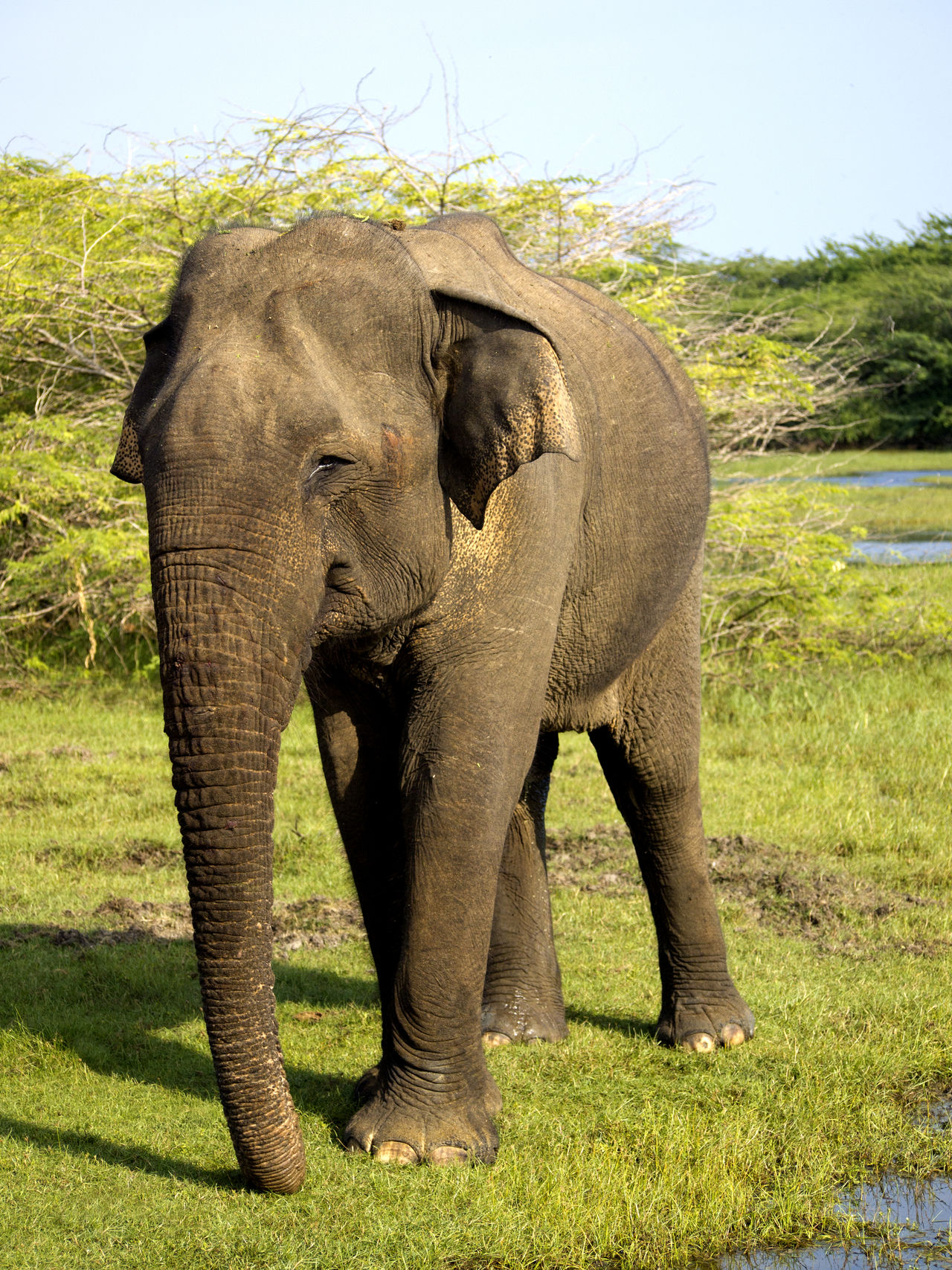 African Elephant Animal Animal Themes Animal Trunk Animal Wildlife Animals In The Wild Beauty In Nature Day Elephant Front View Full Length Grass Indian Elephant Mammal Nature No People One Animal Outdoors Sri Lanka Standing Tusk