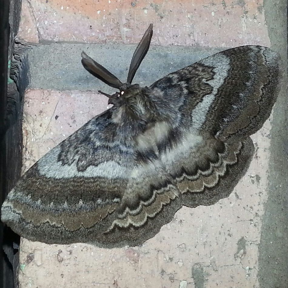 Night Moth Night Photography Flash Tiles In My Room Taking Photos Nature_collection Eyeemnaturelover Nature [ Beauty In Nature Relaxing Check This Out Wonderful Eyeem Best Shots Eyeem Gallery Colorful Beautiful Nature Great Model Beautiful ♥ Port Edward South Africa Nature_collection Nature_perfection Natural Beauty Taking Photos Nature Lover Grey Colour Macro Insects Of The World Macro Nature Macro Photography Macro_collection
