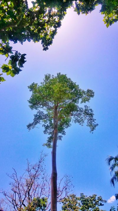 Outcast Eyeem Philippines EyeEm Gallery Trees And Sky Lookingup Nature Trees Tall Tree HDR Los Banos, Laguna Eyeemphotography Eye4photography  Eye For Photography Showcase April