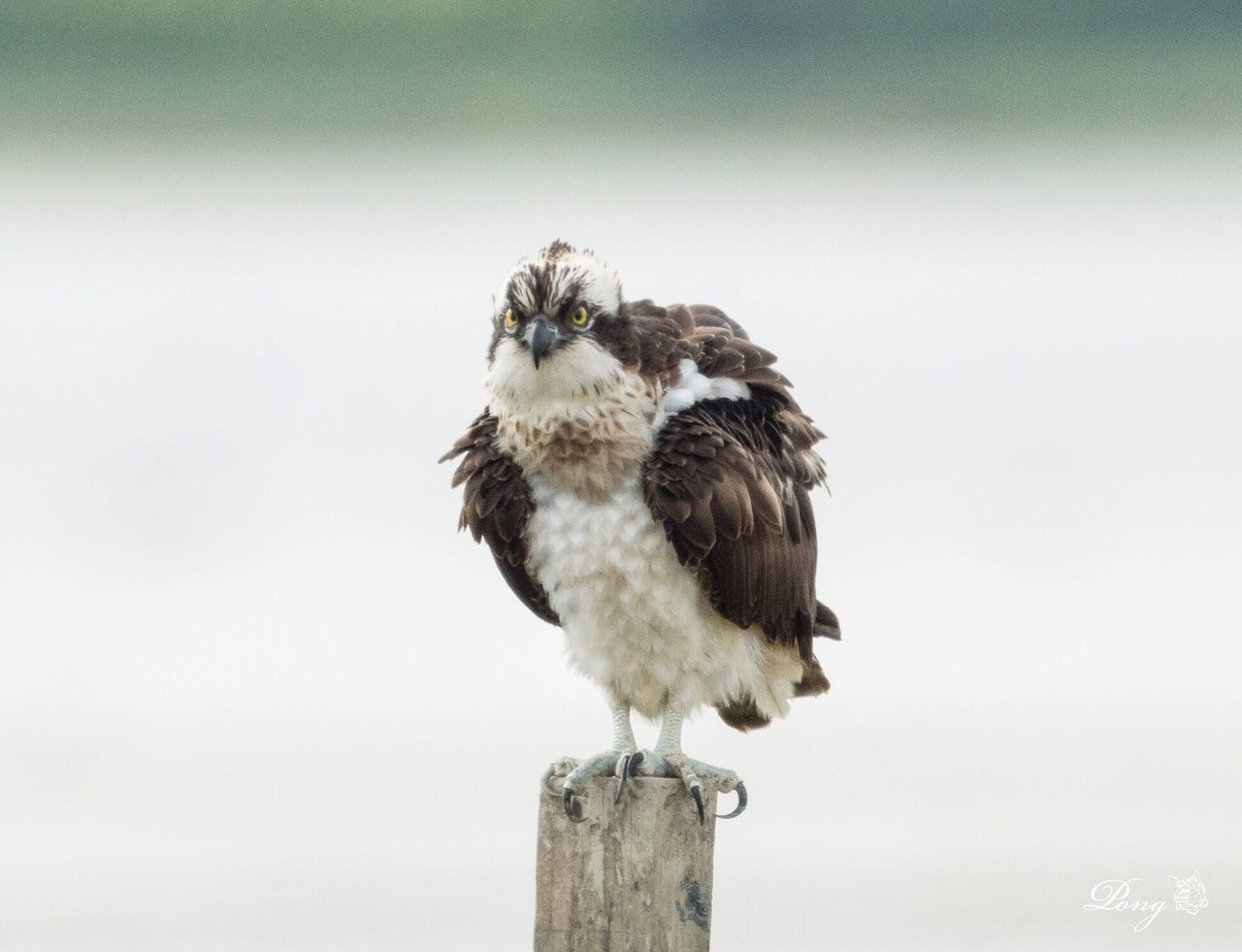 Osprey Wwfhk Maipo Nature Reserve Nikon Animal_collection Bird Photography Animals In The Wild Nature Photography NikonD810 Nikonphotography 800mm Birding Animal Photography Hkbird HongKong Osprey