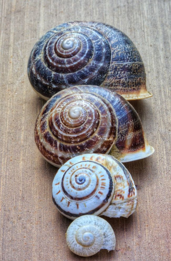 Always try to upsize and one day you will be in a much bigger home Spiral Animal Shell Snail Snails Snail🐌 Snail Collection Snailshell Snails🐌 Snail Shell Snail Photography Snail ❤ Snailhouse Snail Shells Snail Closeup Snail Shell Close Up Increasing Size Increase Size Increase Getting Bigger Getting Bigger Every Day  Getting Bigger. Yuuuhhhh Getting Bigger And Bigger Growing In Size Getting Bigger Everyday! <3 Getting Bigger. /: