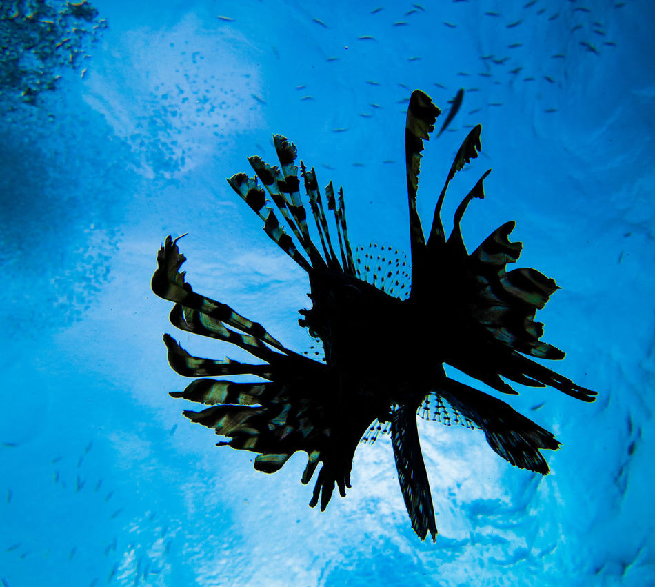 Blue Sea Life Underwater Silhouette No People UnderSea Animal Wildlife Sea Water Nature Full Length Close-up Animals In The Wild Scuba Diving Swimming Day Outdoors Animal Themes Lionfish In The Sea Lionfish