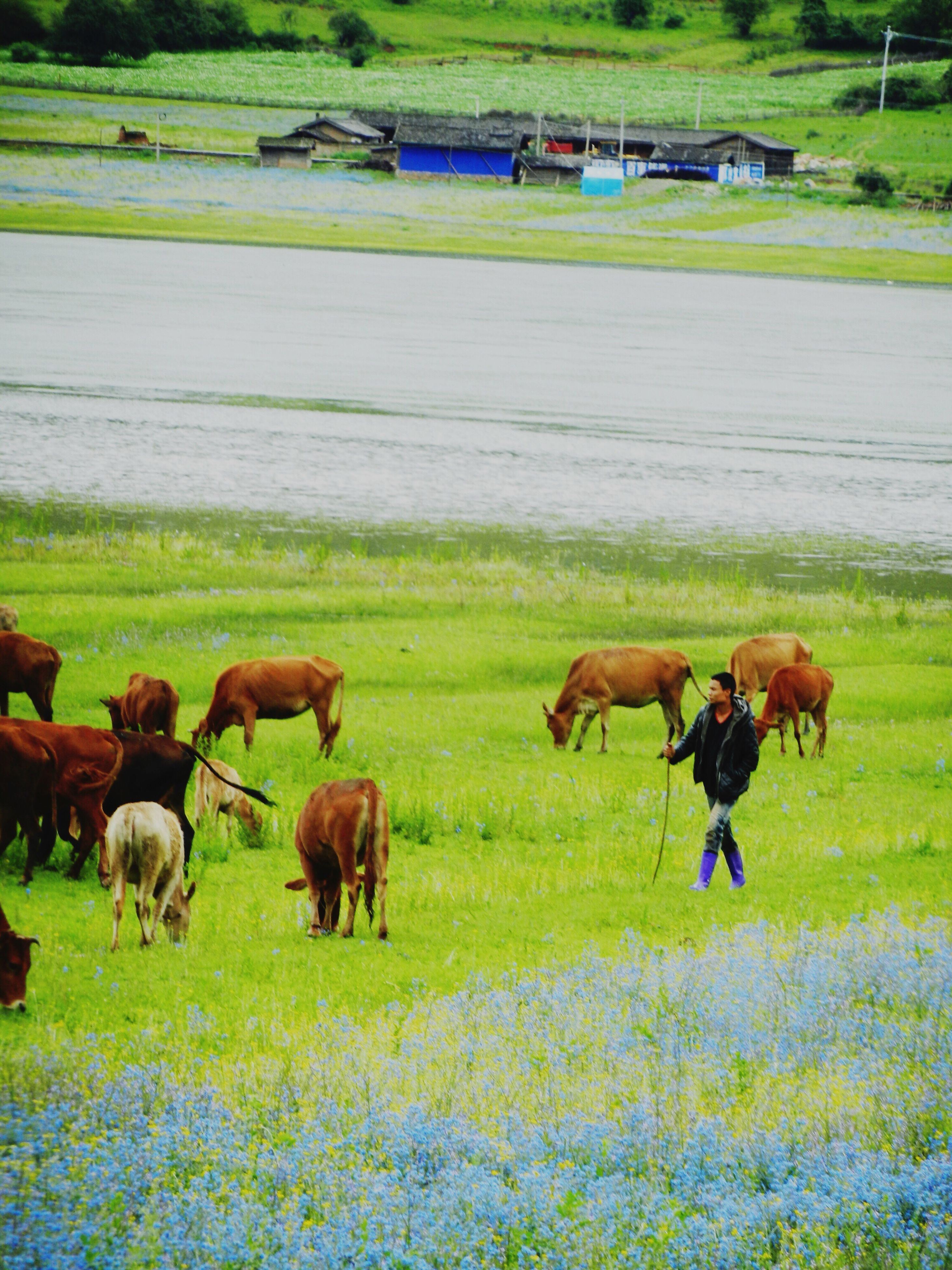 grass, animal themes, field, domestic animals, livestock, grassy, mammal, landscape, horse, medium group of animals, green color, grazing, nature, rural scene, cow, day, pasture, outdoors, farm