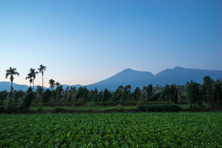 View of Mount Rinjani from Desa Sembulan in Lombok, Indonesia. Agriculture Beauty In Nature Blue Clear Sky Day Growth Landscape Lombok Island Lombok-Indonesia Mountain Nature No People Outdoors Plant Rinjani National Park Rinjanimount Scenics Sky Tea Crop Travel Destinations Tree