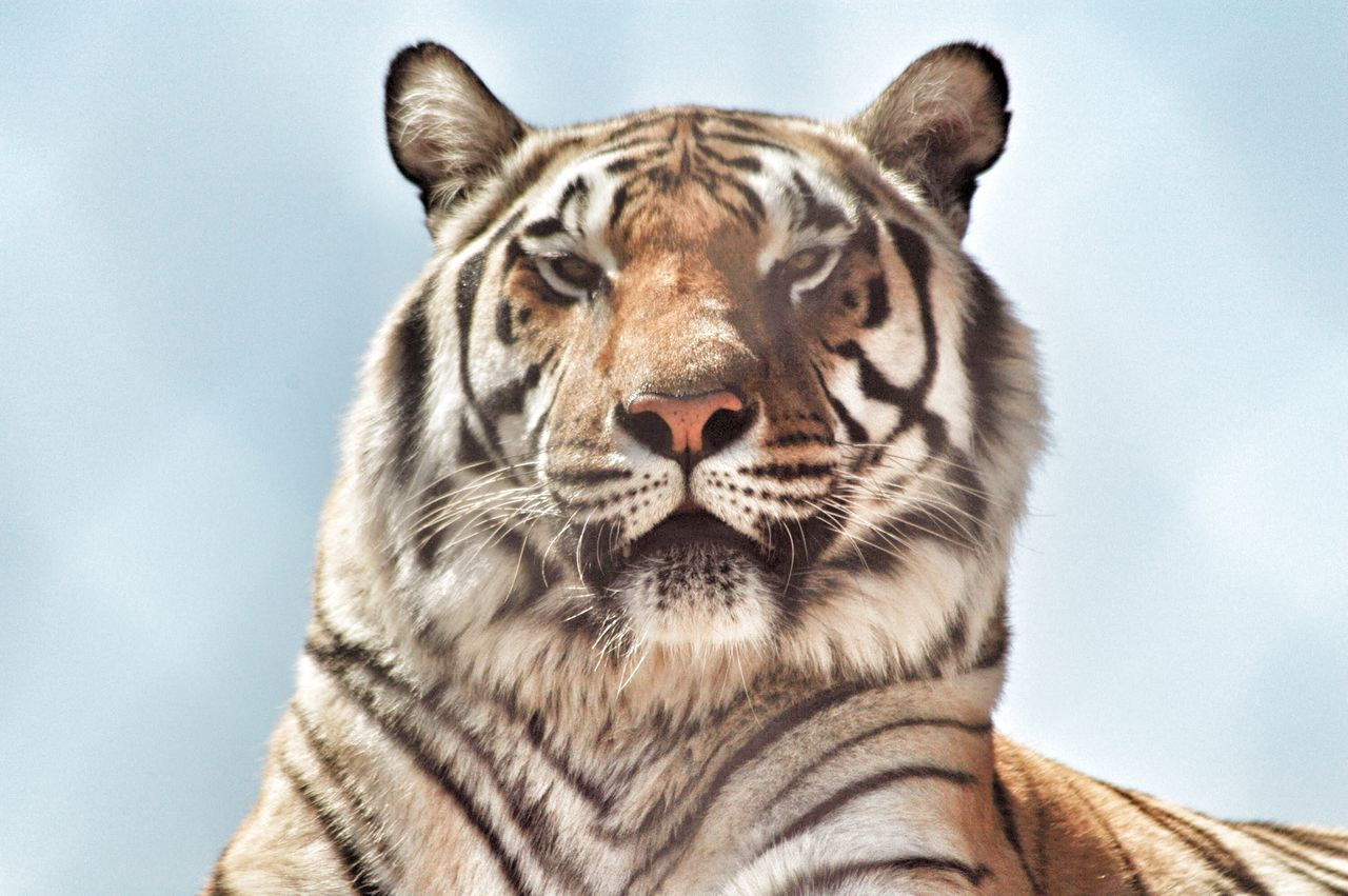 Beautiful stock photos of tiger, Alertness, Animal Body Part, Animal Head, Animal Markings