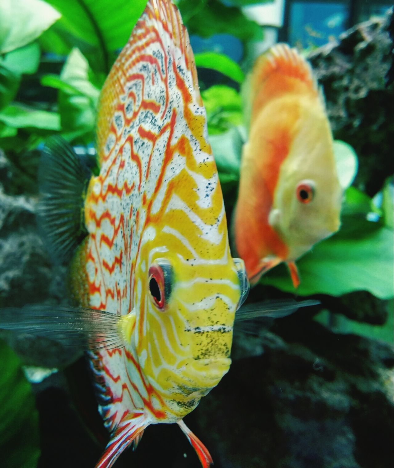 Beautiful stock photos of fish, Animal Themes, Animals In The Wild, Close-Up, Discus Fish