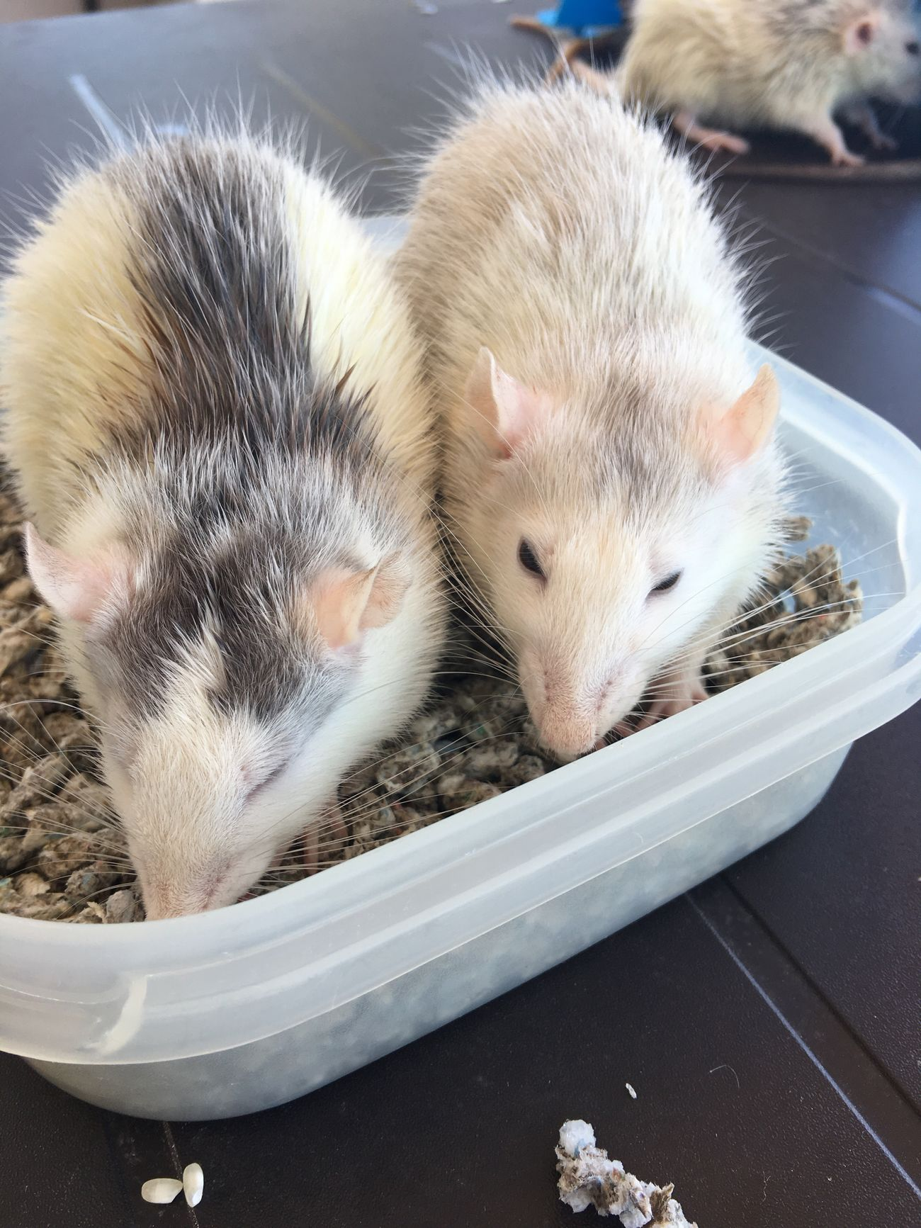 Que sueño!! Jaja Sueño Dormir Rat Animal Cute Rats Avy Loverats Rim Avy And Rim