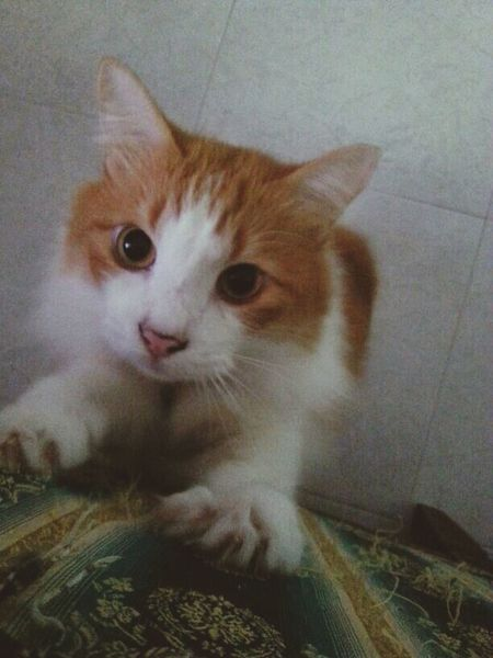 Little brownie, the youngest Cat! Watched him grow from a little kitten to a sweetheart. Eyem Cute Cats