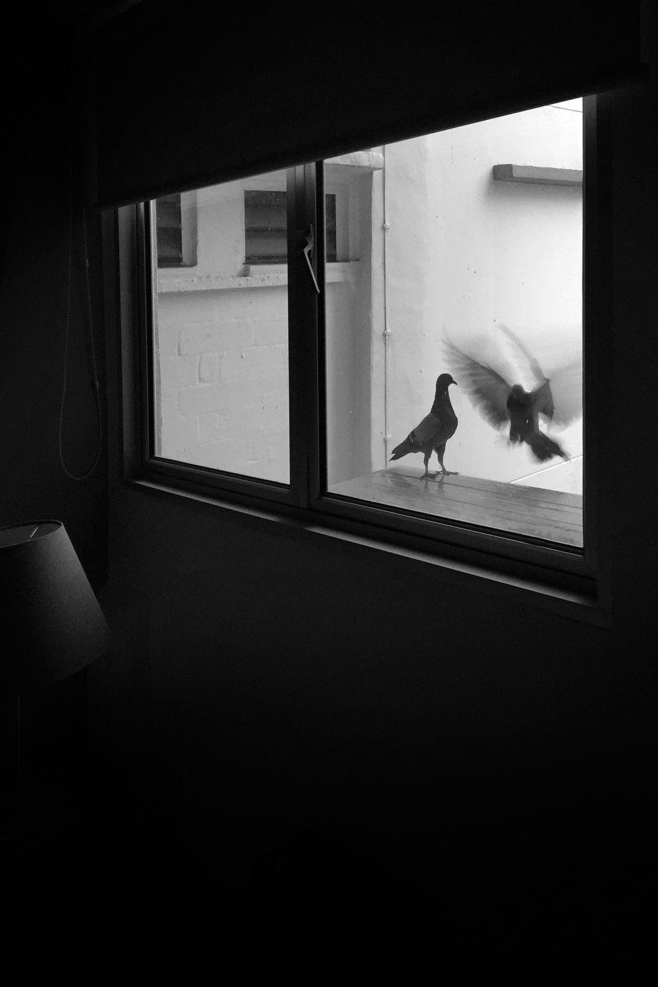 Bird Day Flying Bird Indoors  Landing Pigeon Pigeonslife Room View View From The Window... Window